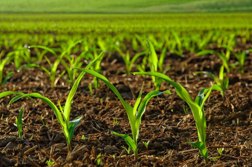17740874 – rows of sunlit young corn plants on a moist field
